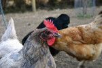 Frie høns 2